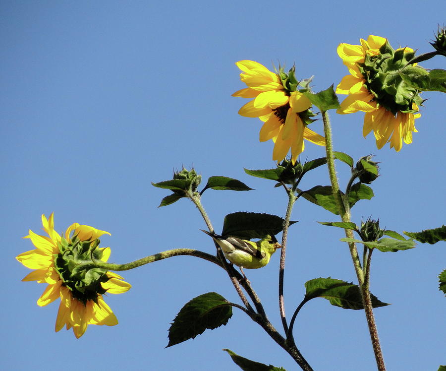 Canary Photograph - Wild Canary Sunflowers by Shannon Grissom