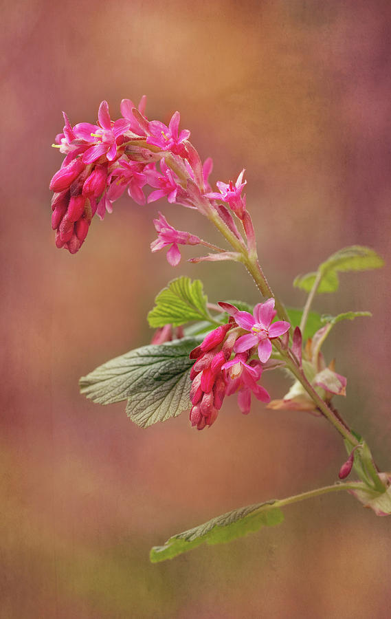 Wild Currant Blossom by Mary Jo Allen
