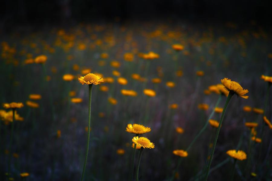 Daisies Photograph - Wild Daisies by Roberto Aloi