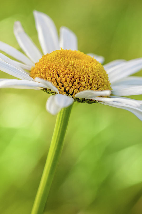 Daisy by Ron Pate