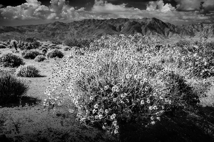 Wild Desert Flowers Blooming In Black And White In The Anza