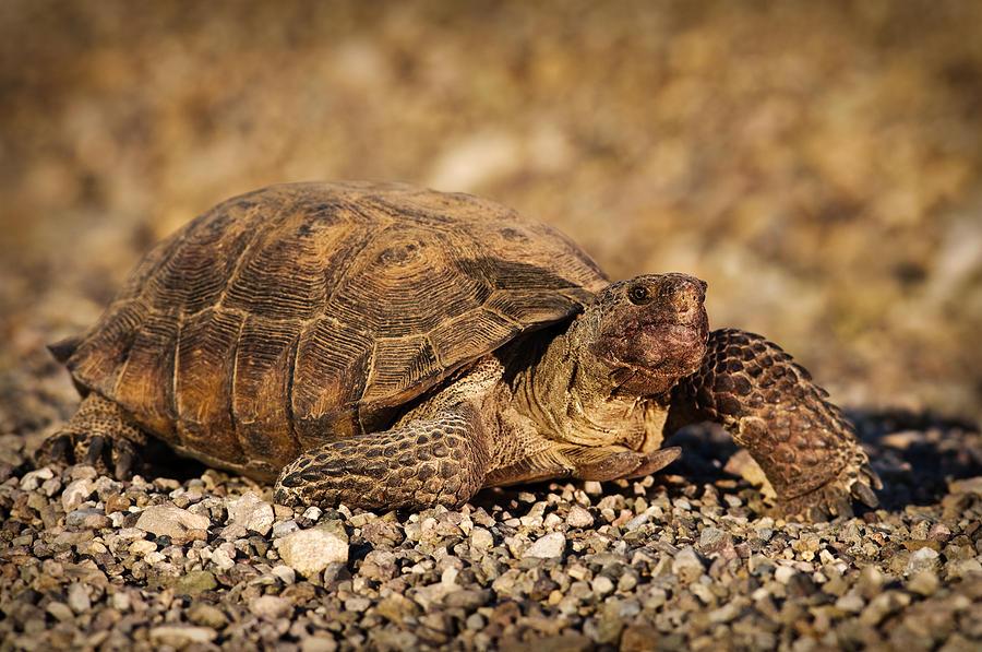 Wild Desert Tortoise Saguaro National Park Photograph