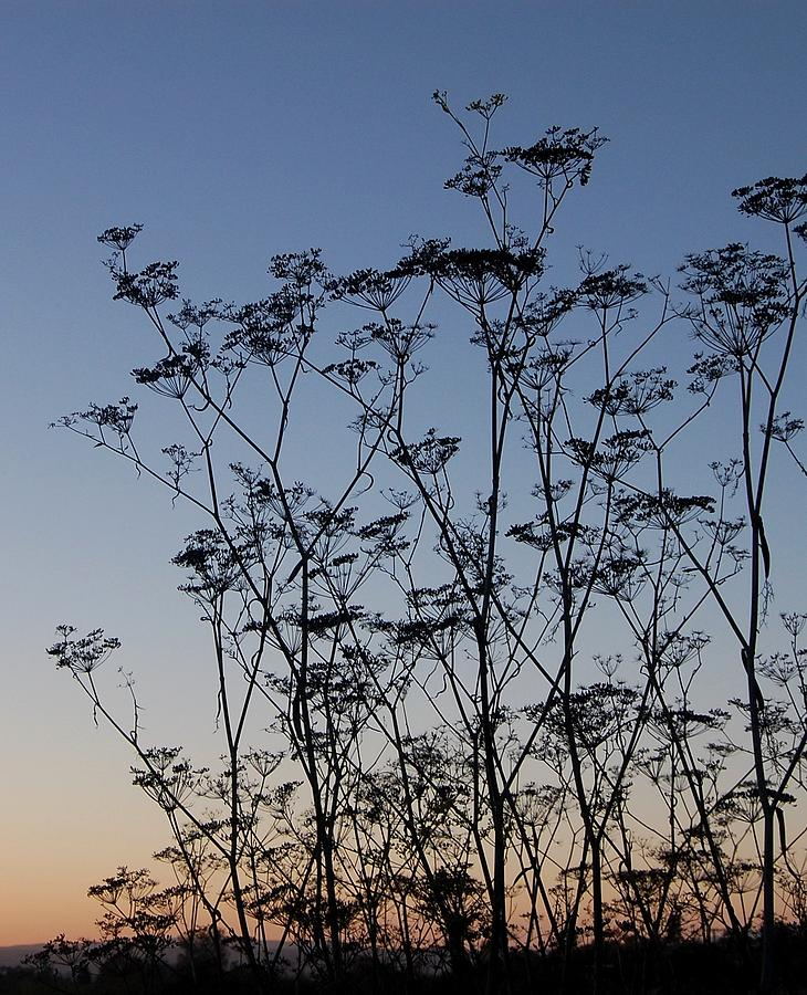 Sky Photograph - Wild Dill Silhouette by Jean Booth