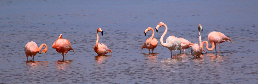 Greater Flamingo Photograph - Wild Flamingos by Karen Lindquist