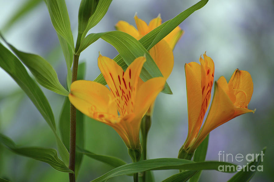 Wild Garden Lilies by Carol Eliassen