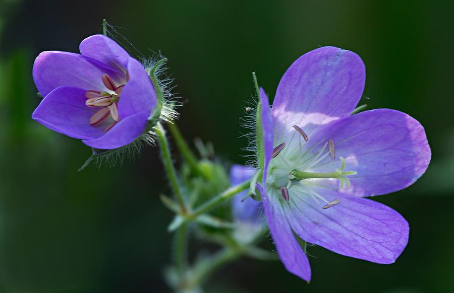 Geranium Photograph - Wild Geraniums by Larry Ricker