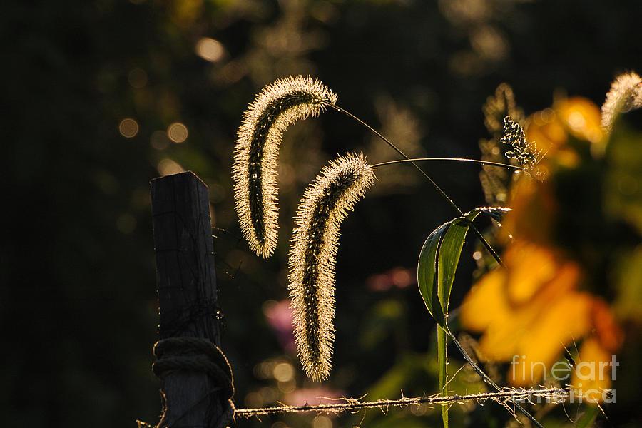 Wild Grass Photograph - Wild Grass Glow by Edward Sobuta