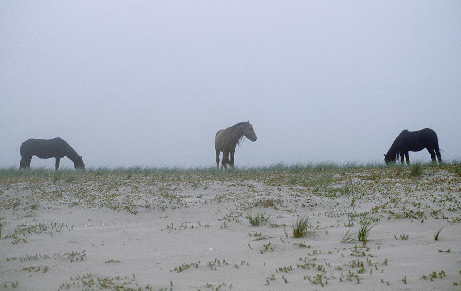 North America Photograph - Wild Horses In The Sand Dunes On Sable by Justin Guariglia