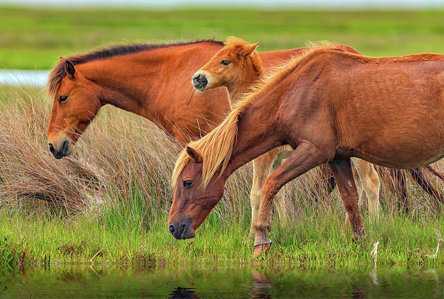 Horses Photograph - Wild Horses Of Assateague Island by Rick Berk