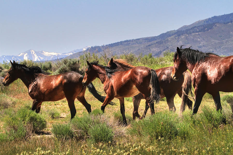 Wild Horses Photograph - Wild Horses Of Nevada by Donna Kennedy