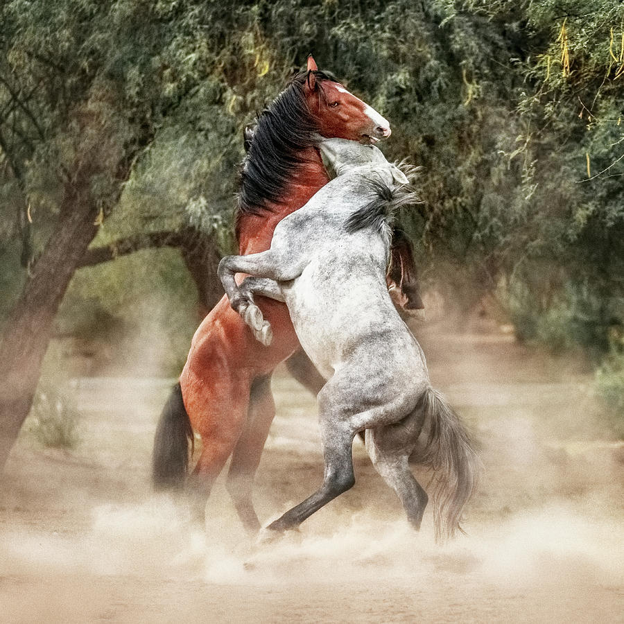 Horse Photograph - Wild Horses Rearing Up Play Fighting by Susan Schmitz