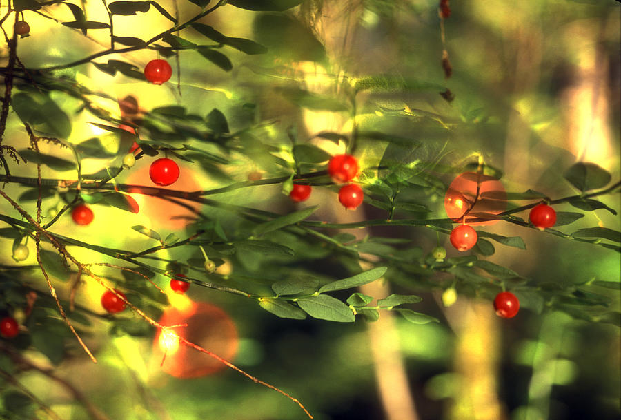 Horizontal Photograph - Wild Huckleberries On The Bush by Lyle Leduc