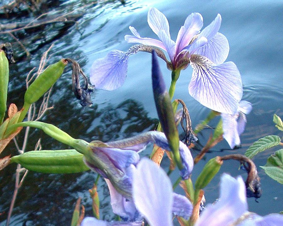 Wild Iris Photograph by Dean Lindberg