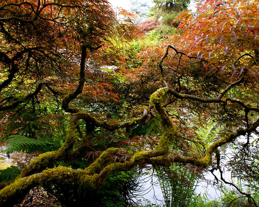 Botany Photograph - Wild Japanese Maple by Sonja Anderson