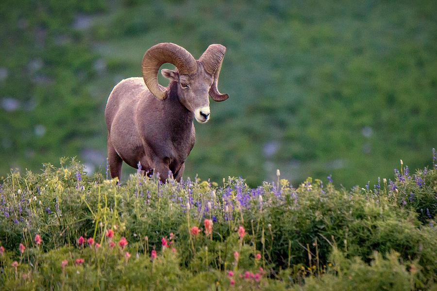 Ram Photograph - Wild Journey by Ryan Smith