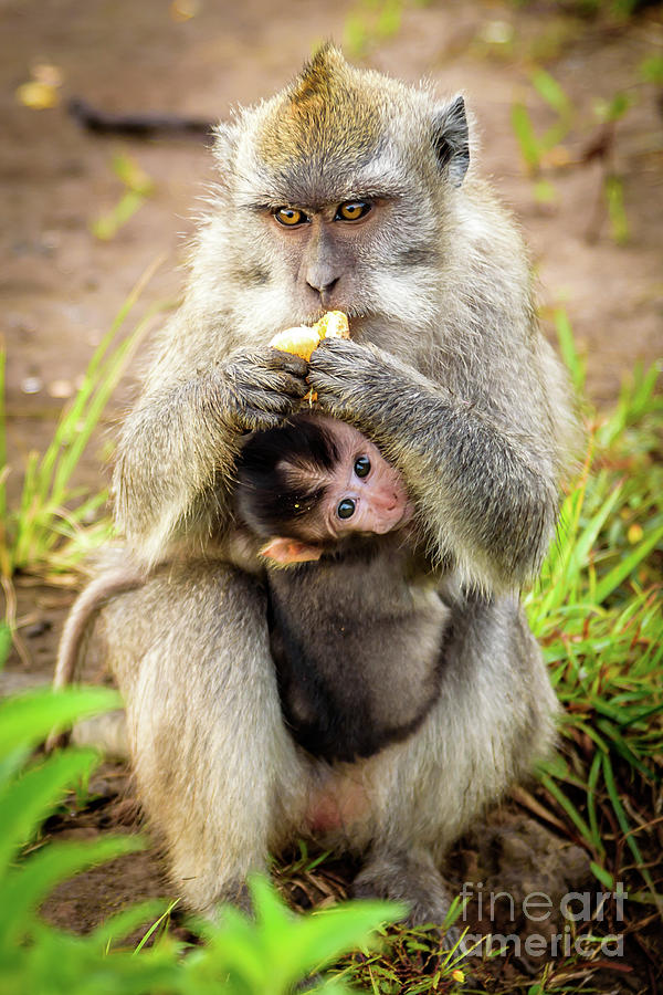 Wild Monkey Eating an Orange While Holding Her Baby On Top of Mount Batur Volcano in Bali, Indonesia by Global Light Photography - Nicole Leffer