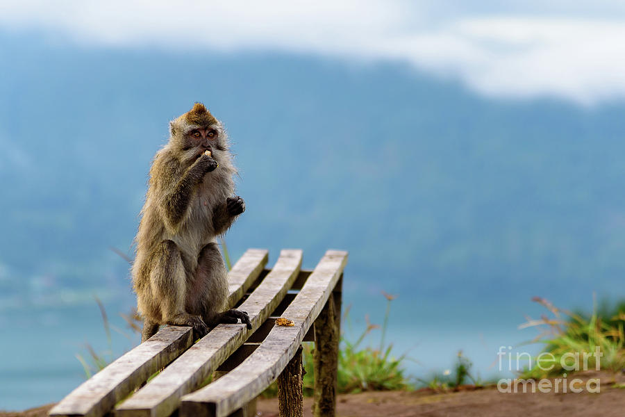 Wild Monkey eats his Breakfast with A View Of Lake Batur from the top of Mount Batur Volcano in Bali by Global Light Photography - Nicole Leffer