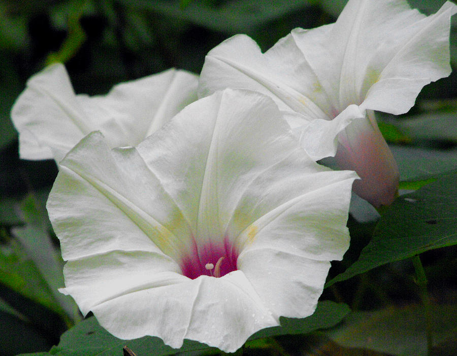Flower Photograph - Wild Morning Glories by Eva Thomas