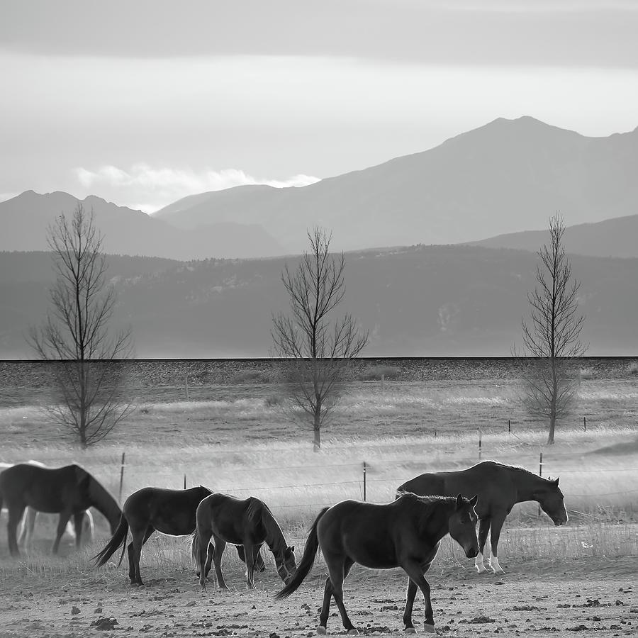 Wild Mountain Horses - Rocky Mountains Colorado - Black And White Square Photograph
