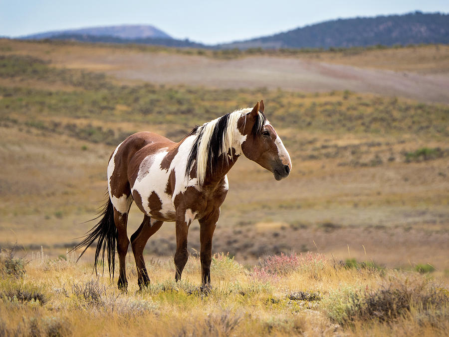 Wild Mustang Stallion Picasso of Sand Wash Basin by Nadja Rider
