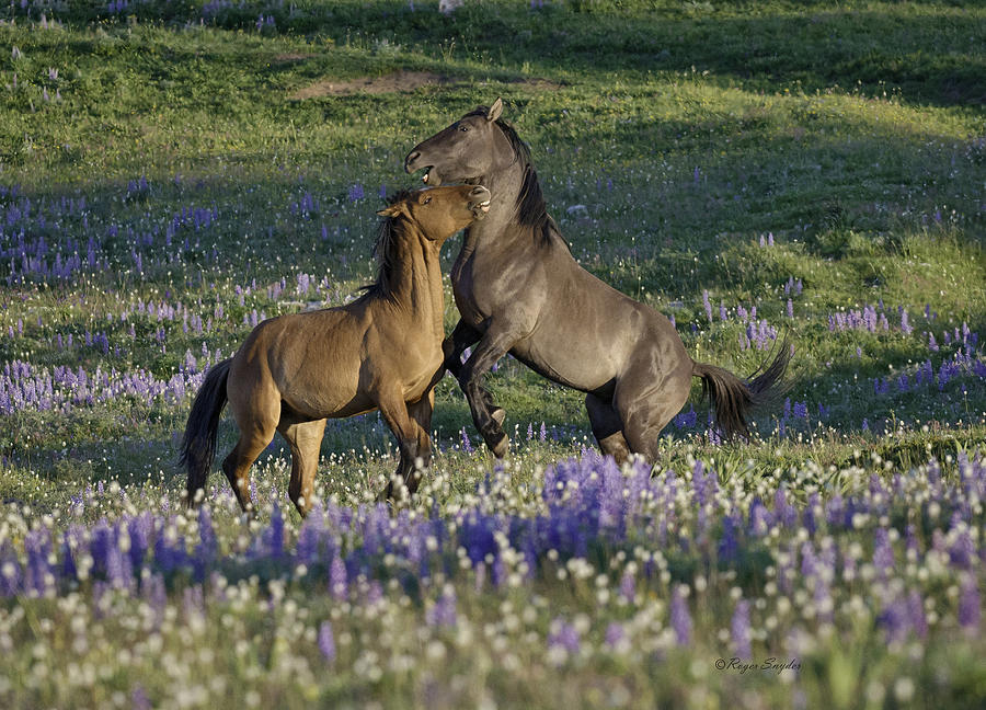 Wild Horses Photograph - Wild Mustangs Playing 2 by Roger Snyder