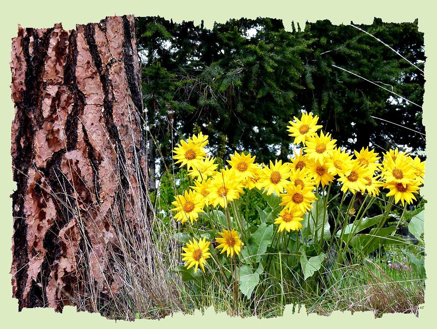 Spring Photograph - Wild Oyama Sunflowers by Will Borden