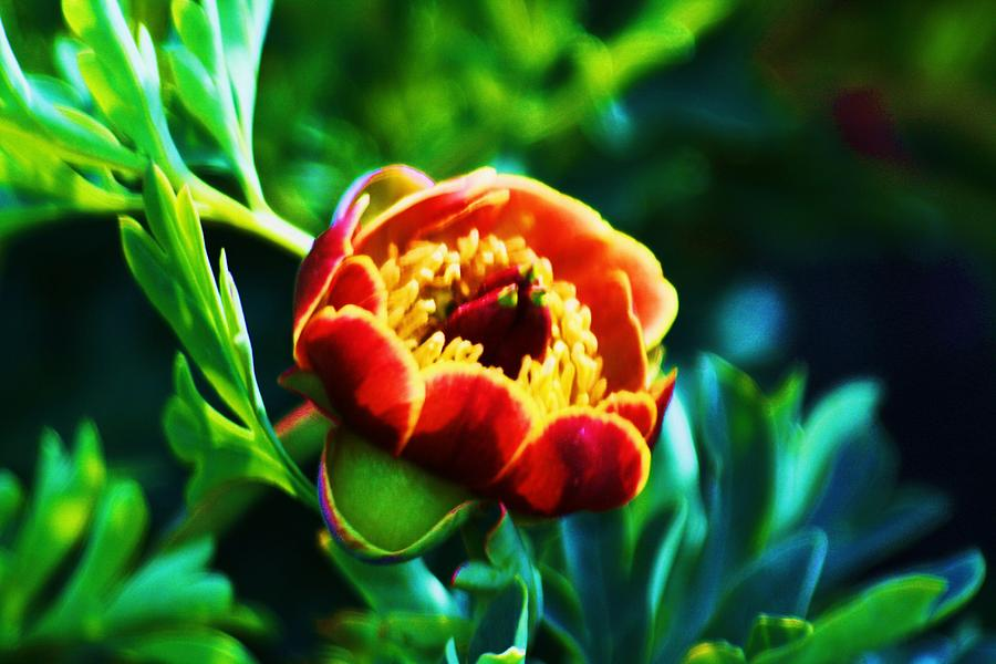 Wild Flower Photograph - Wild Peony by Russell  Barton
