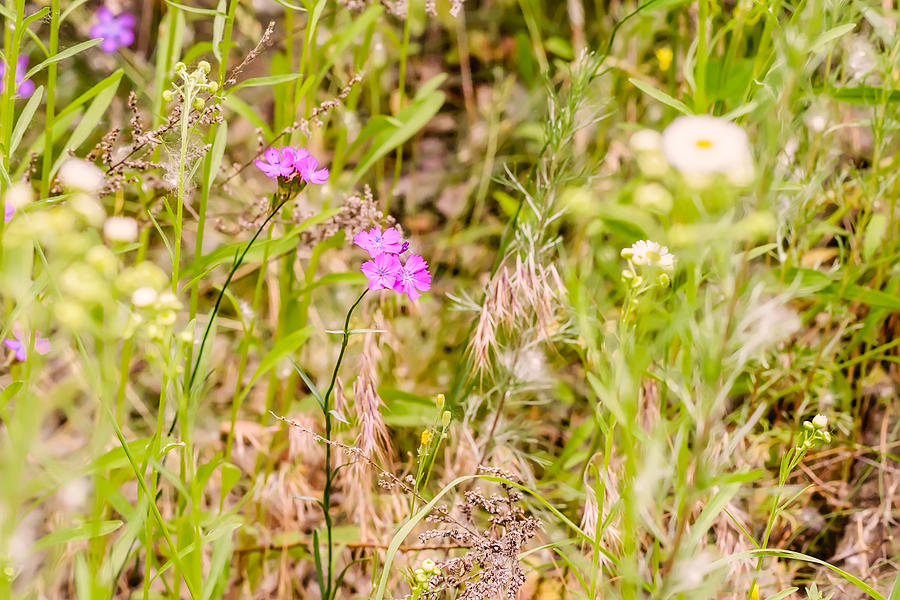 Angiosperms Photograph - Wild Pink Dianthus by Alain De Maximy