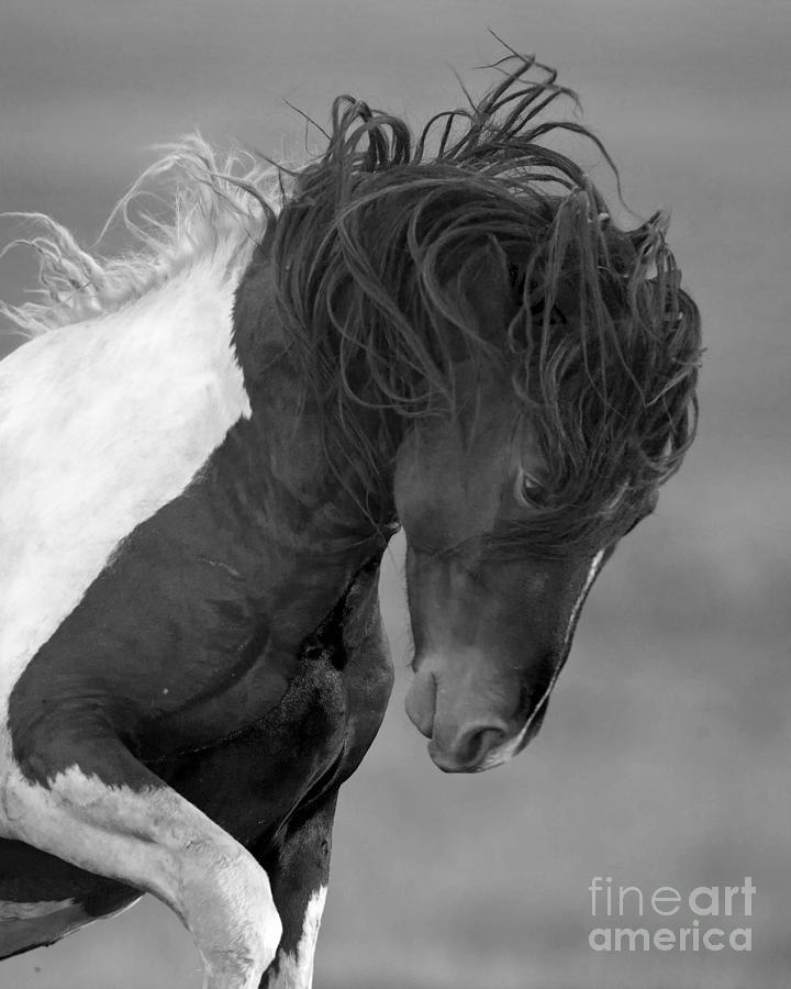 Wild Horses Photograph - Wild Pinto Stallion by Carol Walker