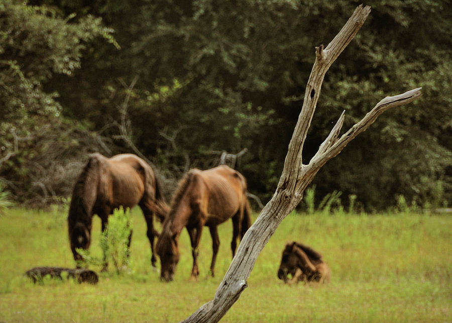 Corolla Photograph - Wild Ponies In Corolla by JAMART Photography