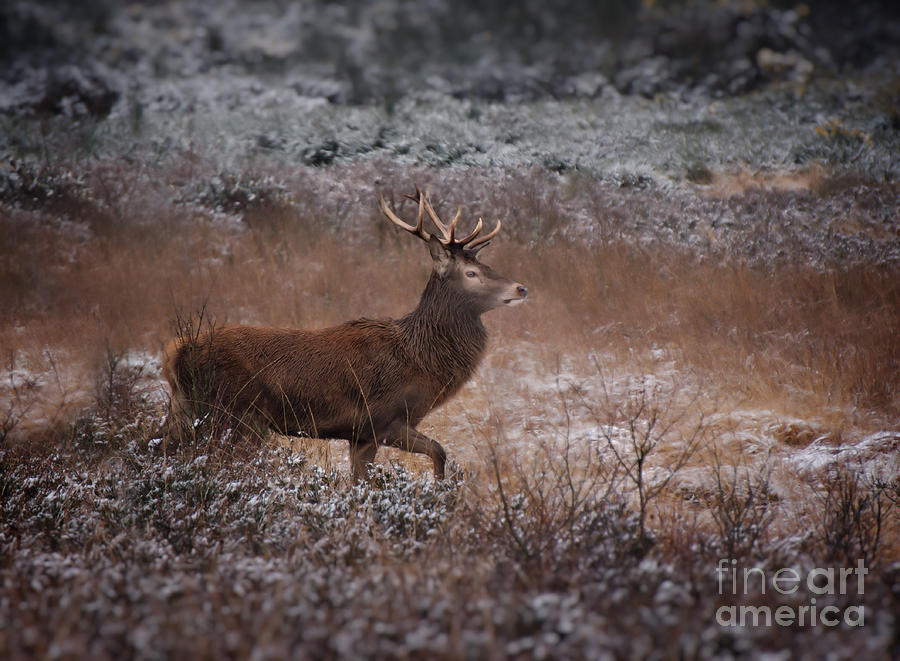 Wild Winter Stag Photograph