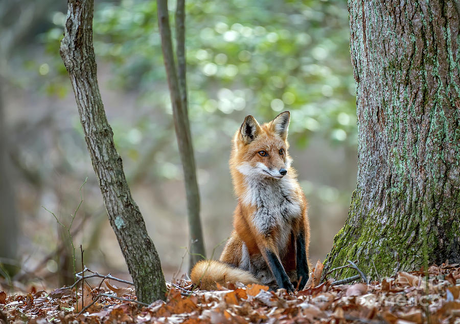 Wild Red Fox looking around a tree in the forest in Autumn by Patrick Wolf