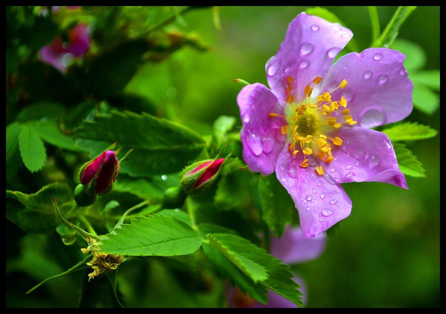 Wild Rose Photograph - Wild Rose After Summer Rain by Susanne Still