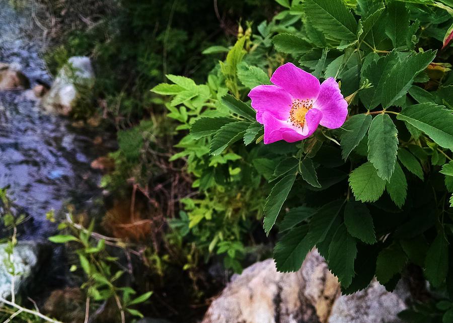 Wild Photograph - Wild Rose by Jason Mair