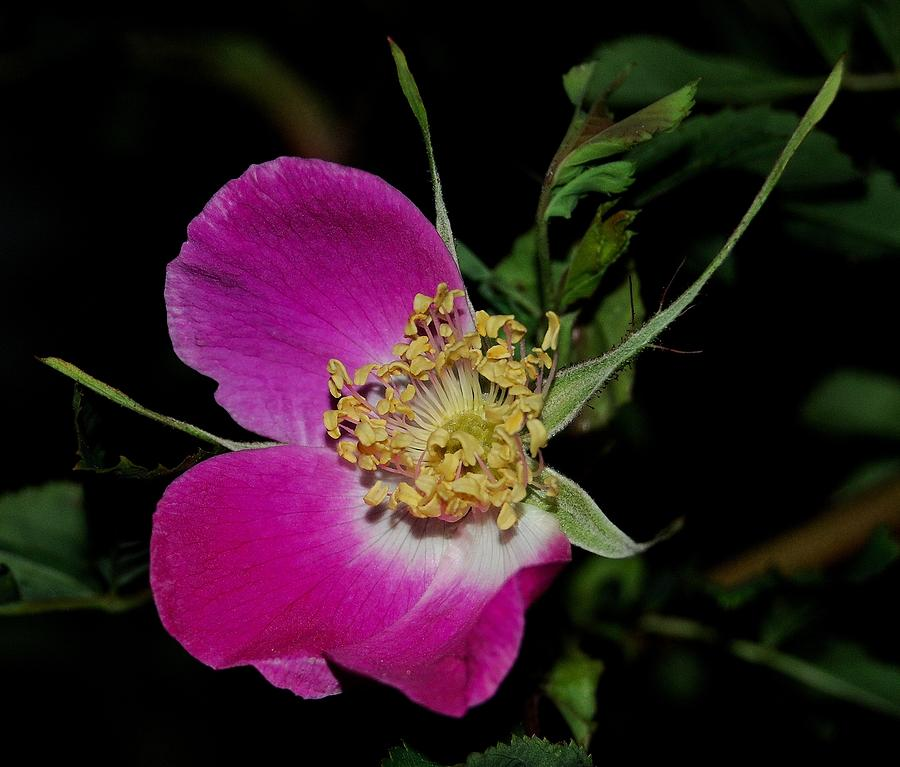 Wild Rose Photograph - Wild Rose by Marilynne Bull