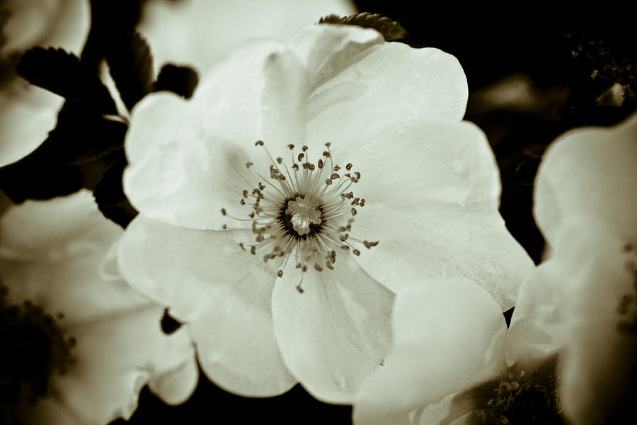 Wild Roses Photograph - Wild Roses by Frank Tschakert