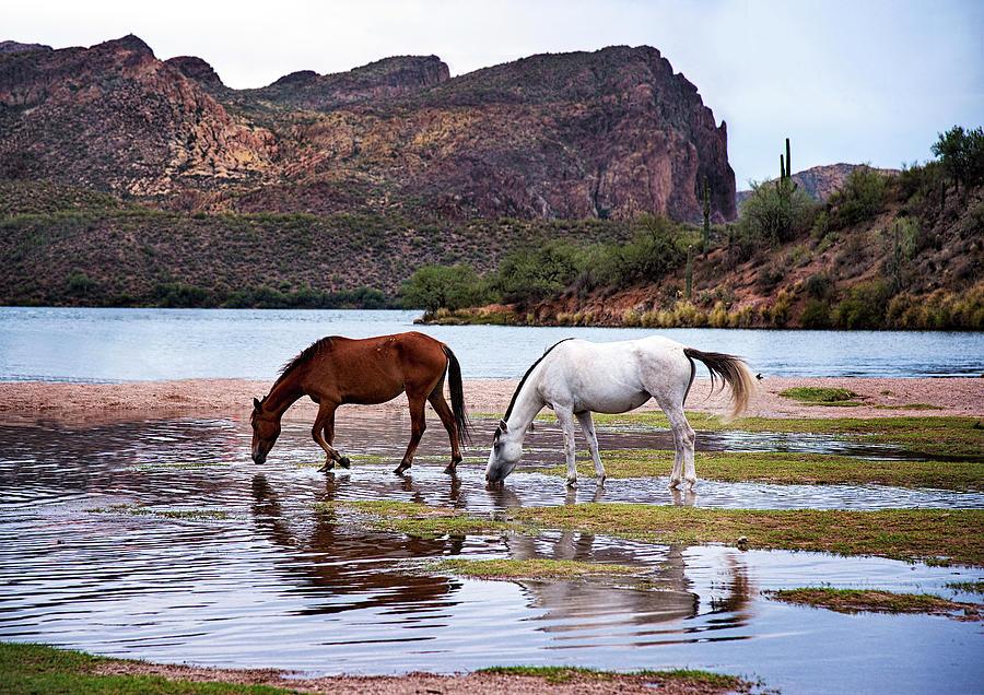 Wild Horses Photograph - Wild Salt River Horses At Saguaro Lake Arizona by Dave Dilli