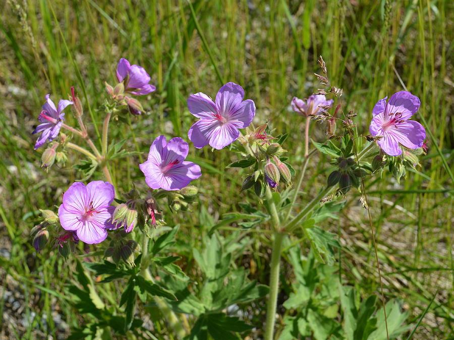 Flora Photograph - Wild Sticky Geranium by Ed Mosier