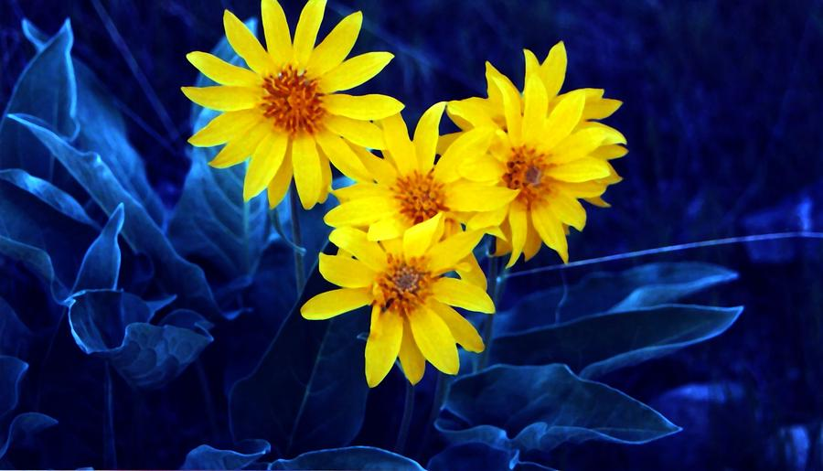 Sunflowers Photograph - Wild Sunflowers by Tiffany Vest