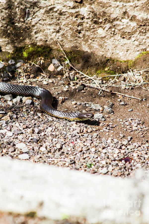 Wild Tiger Snake Photograph