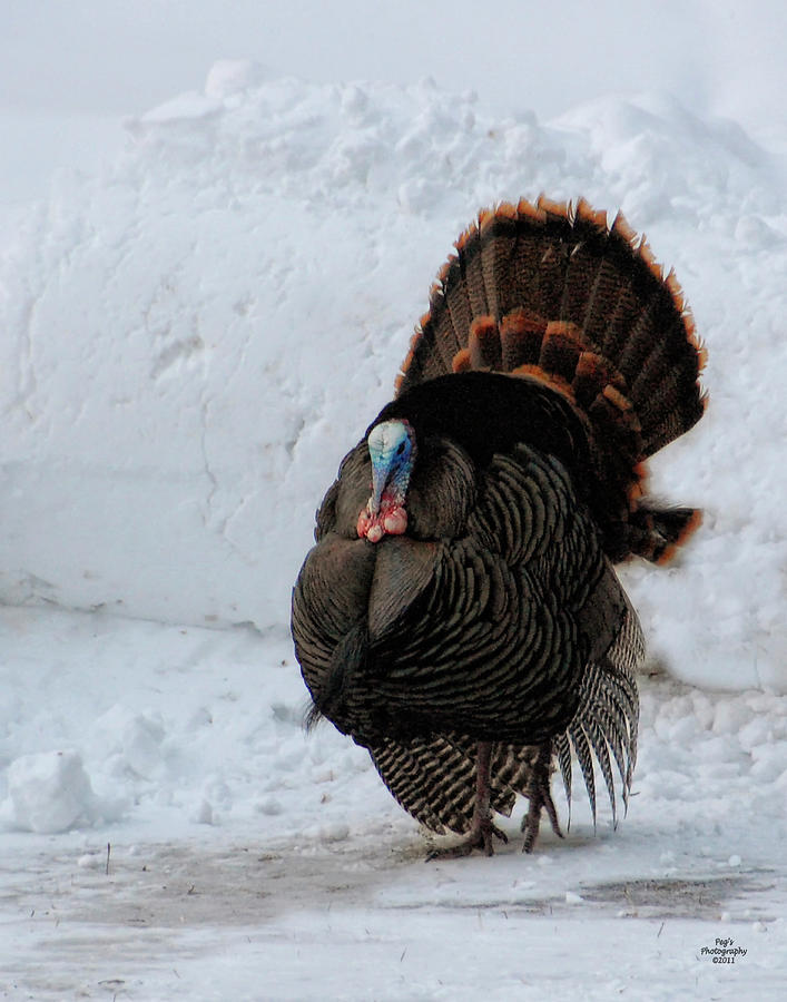 wild tom turkey in winter photograph by peg runyan. Black Bedroom Furniture Sets. Home Design Ideas