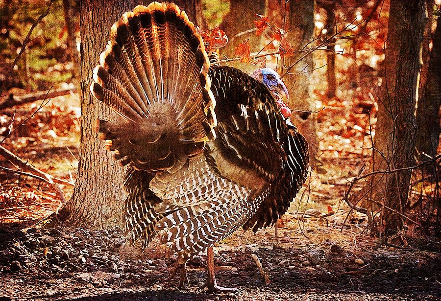 Turkey Photograph - Wild Turkey by Angel Cher