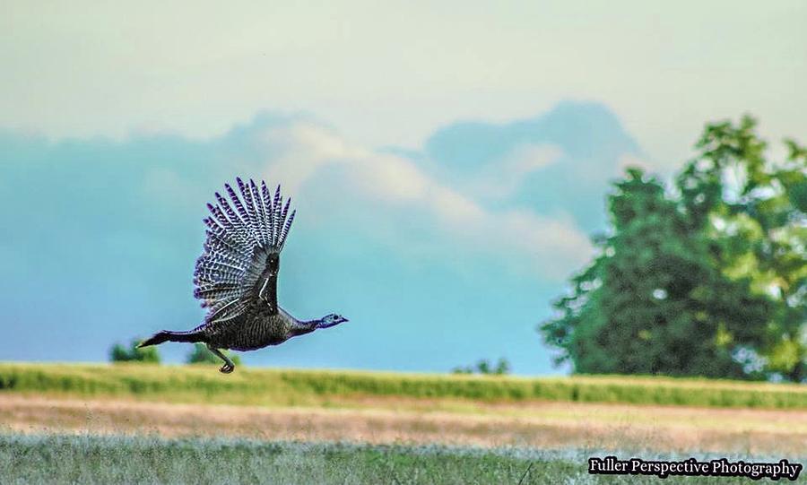 Wild Turkey Photograph - Wild Turkey Flight by Chad Fuller