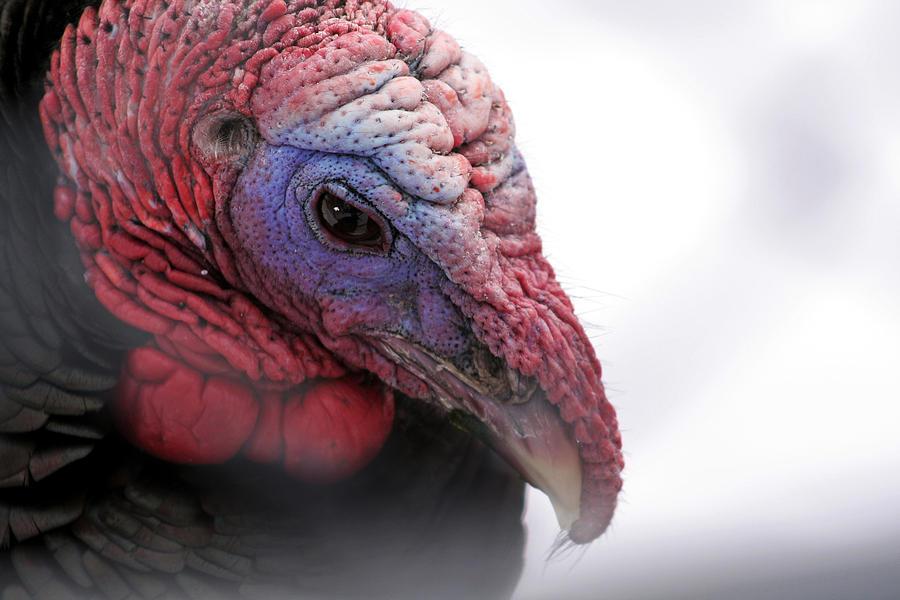 Turkey Photograph - Wild Turkey Head Portrait by Laurie With