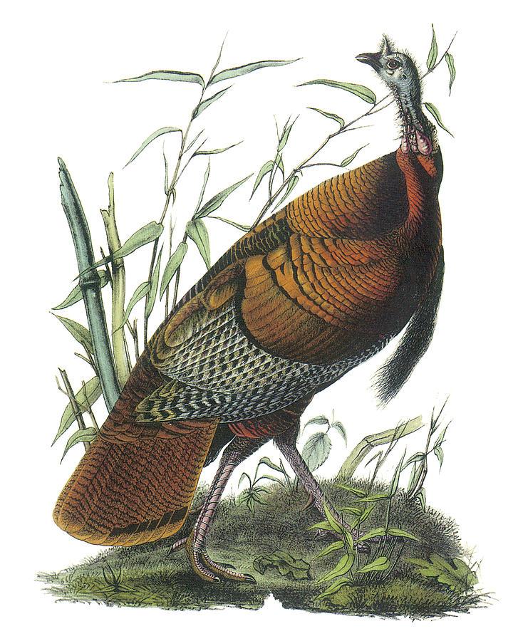 John James Audubon Painting - Wild Turkey by John James Audubon