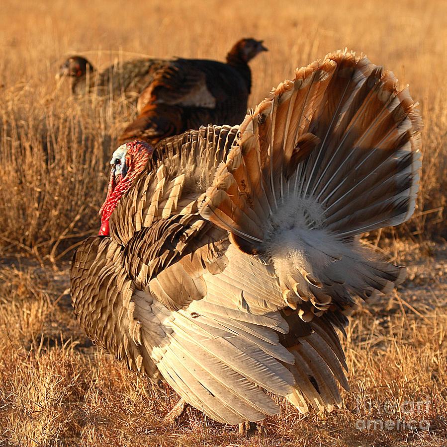 Turkey Photograph - Wild Turkey Tom Following Hens by Max Allen