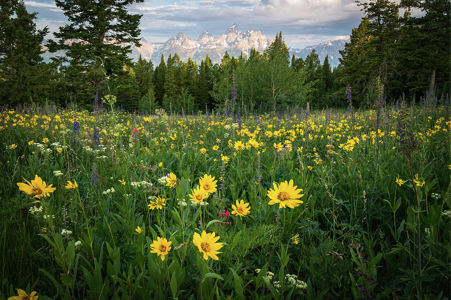Wildflower Meadow In The Tetons Photograph