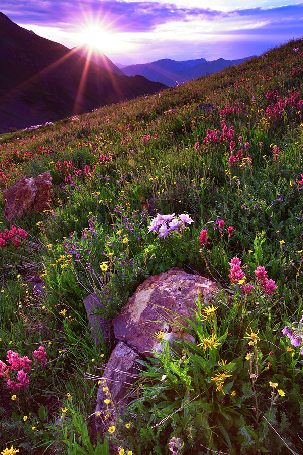 Wildflower Sunburst On Stony Pass Photograph