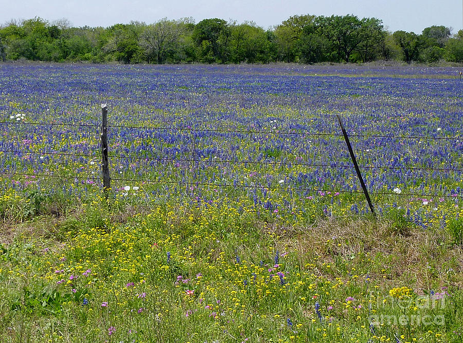 Nature Photograph - Wildflowers - Blue Horizon by Lucyna A M Green