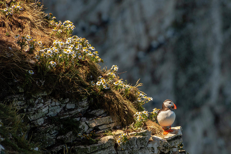 Wildflowers and Puffin  by Cliff Norton